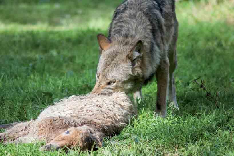 Schaf Und Wolf Spiel