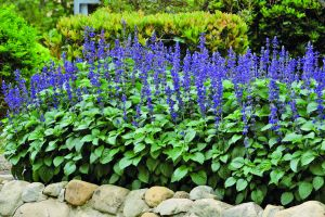 Salbeisaatgut Salvia Big Blue