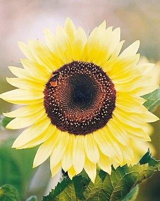 Blüte Sonnenblume-Peredovick