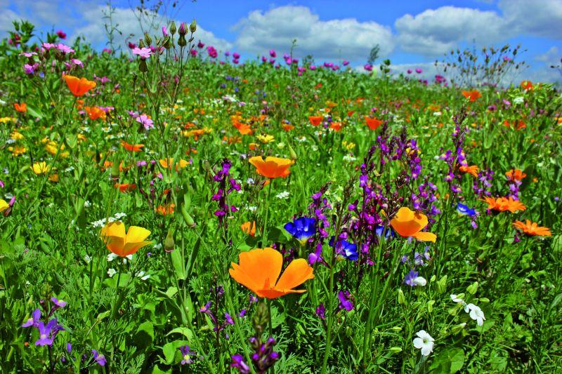 Reine Wildblumen-Mischung